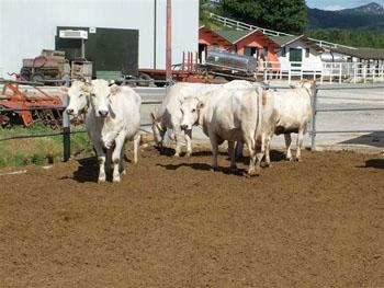 animali in lattazione in stalla nei paddok esterni