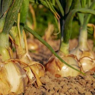 coltivare-cipolle-1280x720 gialle